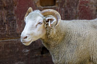Domestic Sheep (Dorset Horn breed) Adult