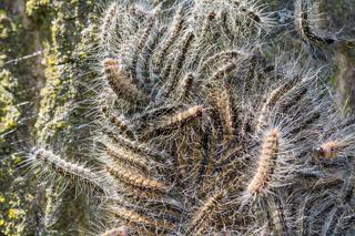 Nest of oak process caterpillars on oak tree