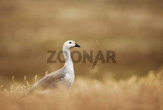 Upland Goose foraging in the field of grass