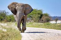 Elephant running at the street, Etosha National Park, Namibia, (Loxodonta africana)