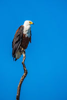 African fish eagle on the background of sky