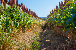 field cultivated with maize bottom view