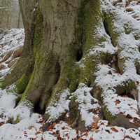 Rood stock (Fagus sylvatica)