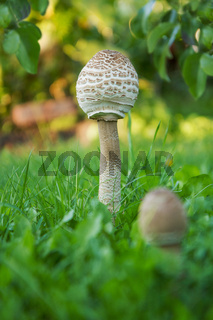 Pair of Parasol Mushrooms  (Macrolepiota procera or Lepiota procera) on a grassy glade