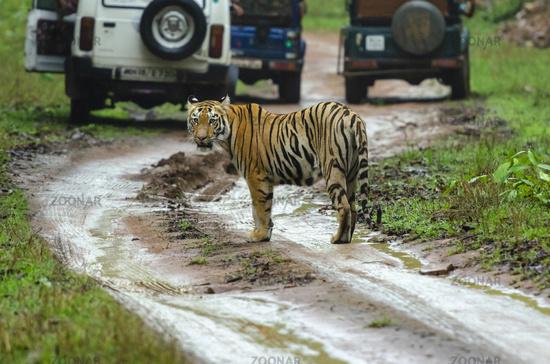Tiger amidst safari vehicles, Tadoba, Maharashtra, India