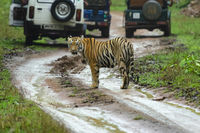 Tiger amidst safari vehicles, Tadoba, Maharashtra, India