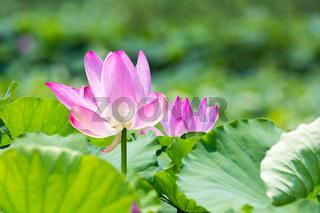 lotus flower bloom in summer