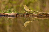 Chiffchaff mirroring in water