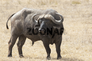 large maleAfrican Buffalo which stands in a dry African savanna