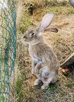 amusing grey rabbit in a shelter