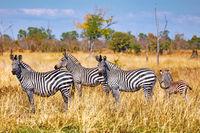 Plains Zebras, South Luangwa National Park, Zambia