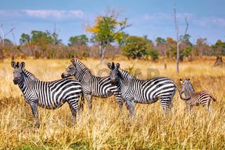 Steppenzebras, South Luangwa Nationalpark, Sambia, (Equus quagga) | Plains Zebras, South Luangwa National Park, Zambia, (Equus quagga)