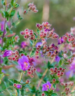 Osbeckia Stellata Ham flower