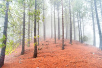 Nature lanscape of foggy pine forest