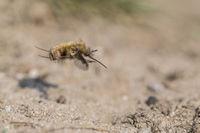 Large Bee Fly, Bombylius major, Grosser Wollschweber