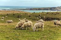 Herd of sheep grazing in a meadow