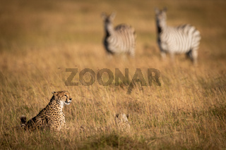 Zebras watch cheetah and cub in grass