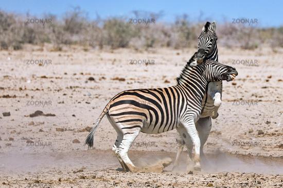 fighting zebras, Etosha National Park, Namibia