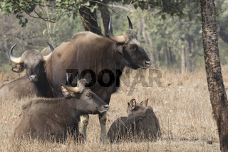 small herd of gaurs or Indian bison that rests on a small forest glade