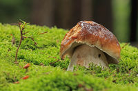 Mushroom in the moss