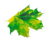 Yellowed maple-leaf