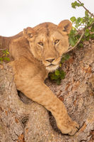 Close-up of young lion lying in tree