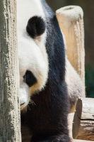 Portrait of giant Panda