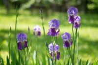 Violet flower iris in the garden. Flower in the garden. Spring flower iris shot in clear sun on gree