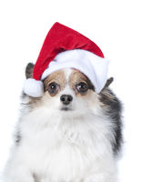 Brown and white puppy dog with Holiday Christmas Santa Hat isolated on white.