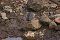 White-spotted fantail, Rhipidura albogularis, Sinhagad valley, Pune district, Maharashtra, India.
