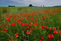 corn rose, field poppy, red poppy on the Swabian Alb,