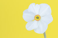 A white daffodil, daffodil in front of yellow background, close-up.