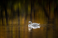 Mute Swan III
