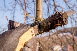Pruning young fruit trees with a garden saw for branches.Spring pruning of fruit trees in the garden