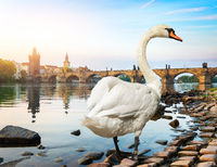 White swan in Prague