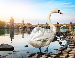 White swan in Prague