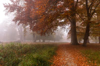 Autumn colors on a misty morning, big trees and path in the forest in Denmark