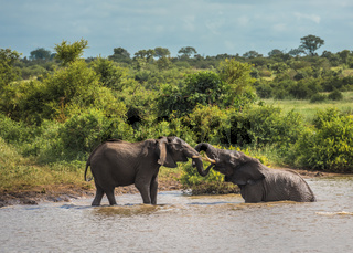 Young elephants playing in water, Kruger National Park, South Africa.