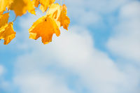 Yellow autumn leaves with blue sky