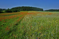Landscape on the Swabian Alb with red poppy and cornflower meadow
