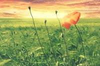 Beautiful red poppy on a wheat field landscape at sunset or sunrise.