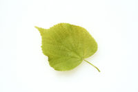 Lindenbaumblaetter, Lindenbaum, Tilia, platyphyllos