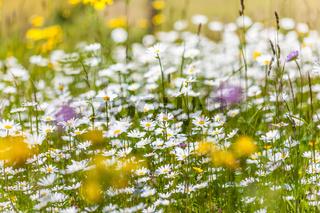 Summer mountain meadows in the rear Villnoesstal