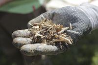 miskanthus plant