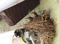 5 almost fully-fledged blackbirds at the Nest
