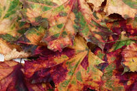 Autumn multicolor maple-leafs