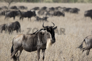 White bearded Wildebeest which stands in a dry savanna against the background of a running herd
