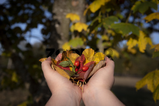 Woman hands holding fall leaves