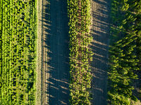 Top view of rows of growing young trees. Ecological concept