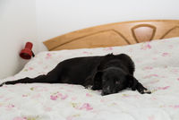 Favorite place of a black dog - bed of masters